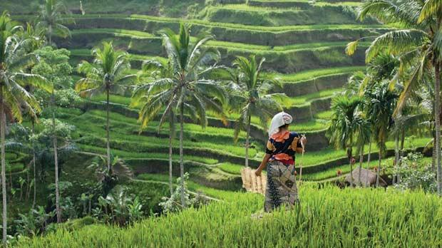 Rice terraces on the outskirts of Ubud.