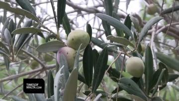 Strong wind chills olive harvest | Video: Matthew Mirabelli