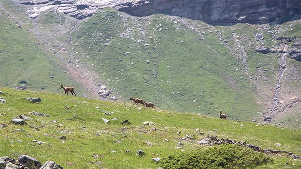 Chamois, a native European species of goat-antelope, cross a high mountain pasture on the Col de la Core trail. Photo: Philippe Durieux