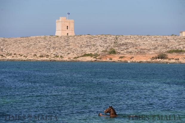 A man enjoys a quiet swim with his horse in Bahar ic-Caghaq on September 6. Photo: Matthew Mirabelli