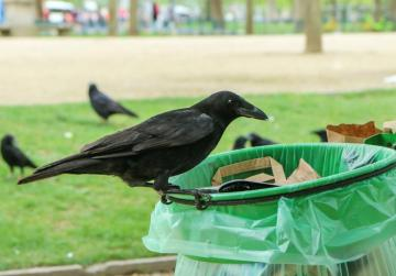 French theme park sends rooks out on litter patrol