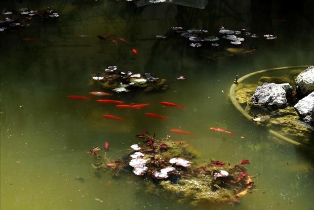 Gold fish swim around in their pond at Villa Mekech in Ghaxaq on March 28. Photo: Chris Sant Fournier