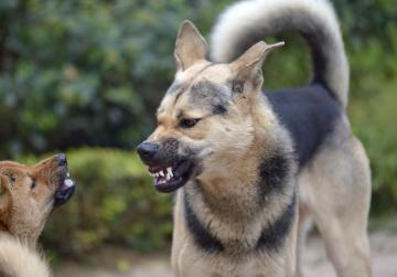 Dog fights ring may be back in Malta