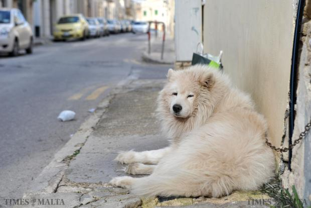 A dog left out in the cold in Zabbar on January 2. Photo: Chris Sant Fournier
