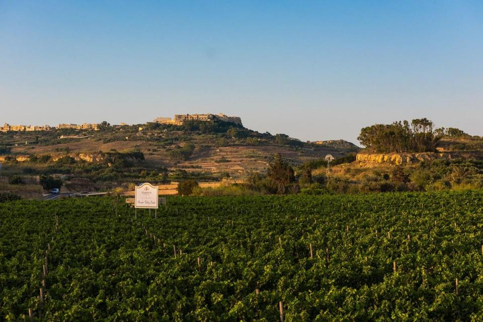 Three-quarters of the grapes in certain areas of Malta, particularly around Rabat, were destroyed by the abundant rainfall in a short period of time. Photo: Marsovin