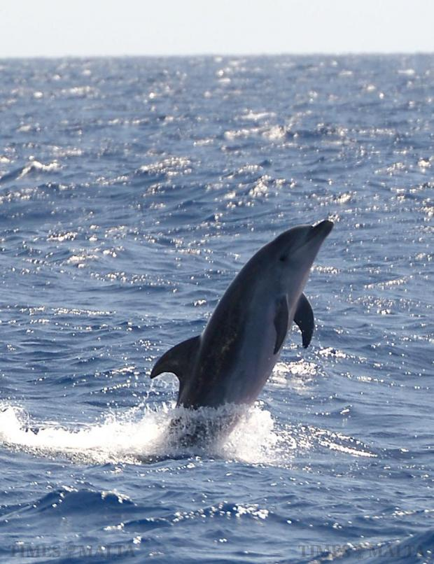A dolphin jumps out of the water off the south coast of Malta on August 25. Photo: Matthew Mirabelli