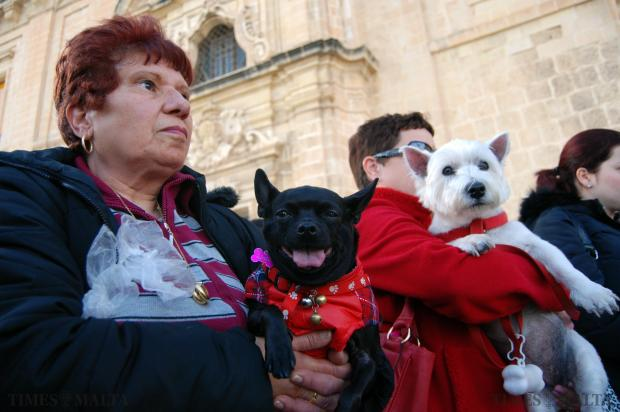 A Chihuahua stares into the camera before being blessed at the Valletta Waterfront on January 18 to mark the occasion of the feast of St Anthony the Abbot protector of livestock. Photo: Mark Zammit Cordina