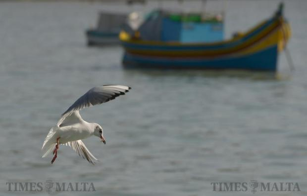 A seagull picks up a scrap of food from the water in Marsaxlokk on December 21. Photo: Matthew Mirabelli