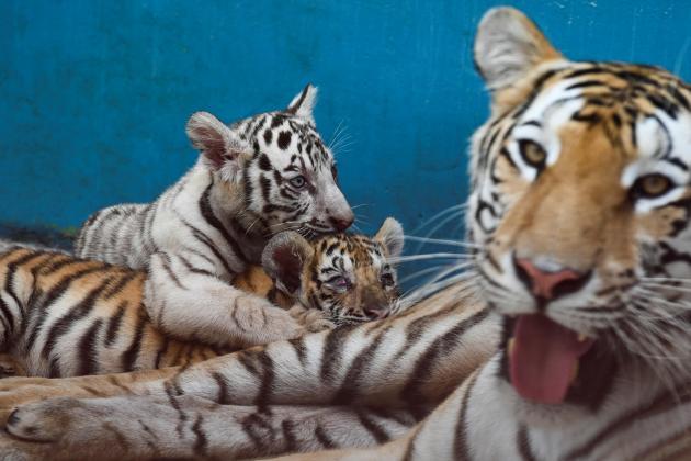 Havana Zoo introduces Yanek, a rare white tiger, Cuba's first