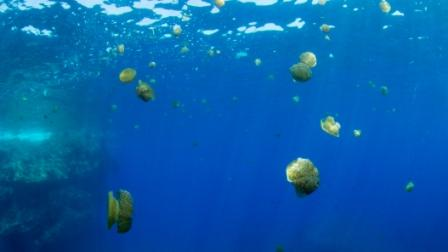 A bloom of the fried egg jellyfish is currently being experienced in Maltese waters. Photo: Pete Bullen