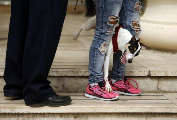 A smooth fox terrier dog gets trapped in between its owner's legs while playing on the steps leading into the law courts in Valletta on September 26. Photo: Darrin Zammit Lupi