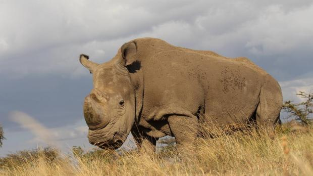 Poachers sell northern white rhinos horns for $50,000 per kilo, making them  more valuable than