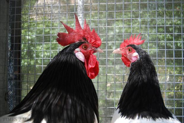 Two roosters stare at each other in a cage at the Fur and Feathers show held at the San Anton palace on May 10. Photo: Mark Zammit Cordina