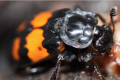 Are two parents better than one? Yes, but only if you're a burying beetle