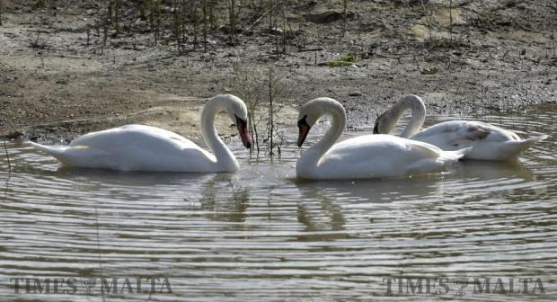 Two swans look at each other forming a heart shape in a reservoir in Marsalforn Valley Gozo on January 11. Photo: Mark Zammit Cordina