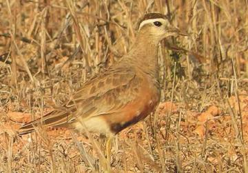 A dotterel captured in a field despite its camouflage. Photo: James Aquilina