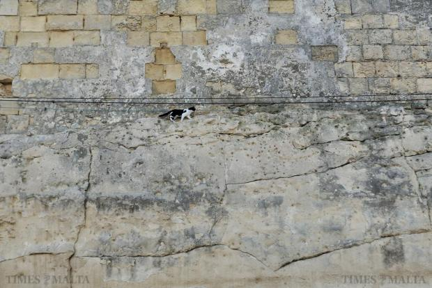 An intrepid cat tries to catch a pigeon half way up a Valletta bastion on November 15. Photo: Chris Sant Fournier