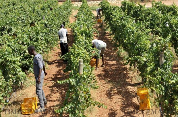 Grapes are harvested at the Marsovin vineyards in Marsaxlokk on August 10. Photo: Chris Sant Fournier