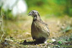 Quail: this bird was already migrating to Malta at least 125,000 years ago. Picture: Natalino Fenech