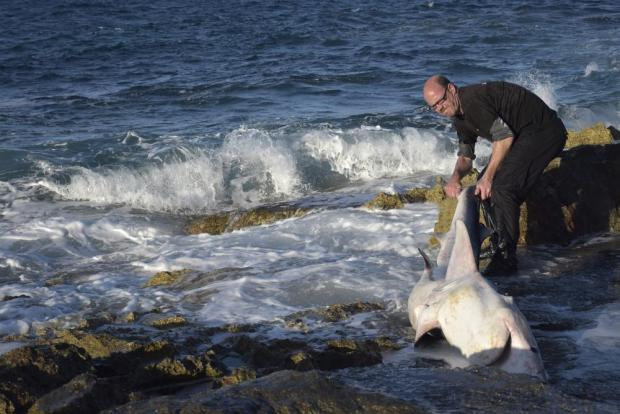 Greg Nowell of Sharklab Malta tries to help a blue shark back into the water after it was washed ashore in Pembroke on March 7. Photo: Mark Zammit Cordina