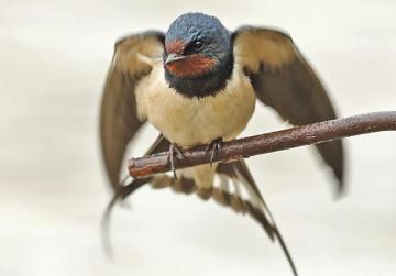 Barn swallows have been spotted at Simar Nature Reserve in Xemxija. Photo: Denis Cachia