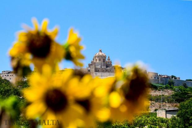 Sunflowers bloom below Mdina on August 8 Photo : Jonathan Borg
