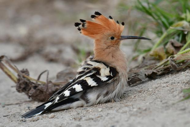 Hoopoe dusting. Birds often bathe in dust as this is part of the process of keeping their feathers ship shape. Photo: Natalino Fenech