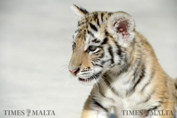 A tiger cub plays in the grounds of L-Arka ta' Noe in Siggiewi on June 8. Photo: Matthew Mirabelli