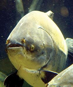 Percy, the 30-year-old giant pacu fish. Photo: Blue Reef Aquarium/PA Wire