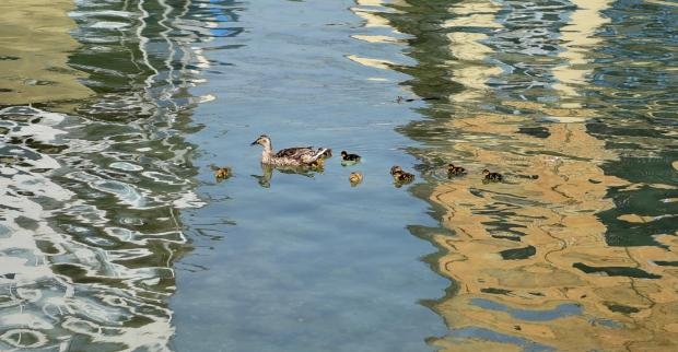 A Duck and her young swim in Gzira on July 20. Photo: Mark Zammit Cordina