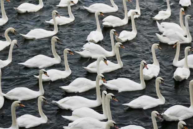 The famous swans of Windsor. Photo: Shutterstock