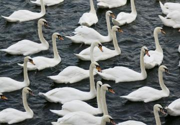 Queen Elizabeth owns how many swans?