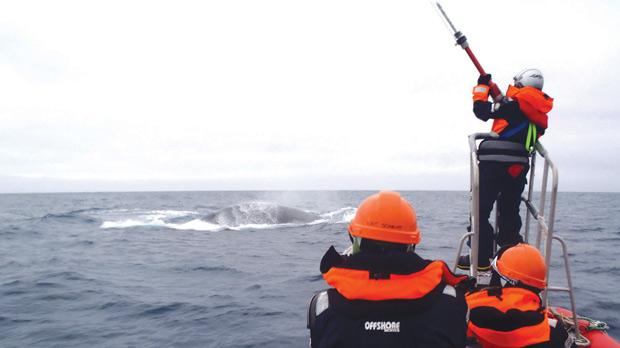 Australian researchers using an airgun to tag an endangered blue whale with satellite- tracking equipment in the Southern Ocean, Antarctica. Photo: Reuters