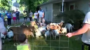 Who let the goats out? Runaway herd invades Idaho neighborhood