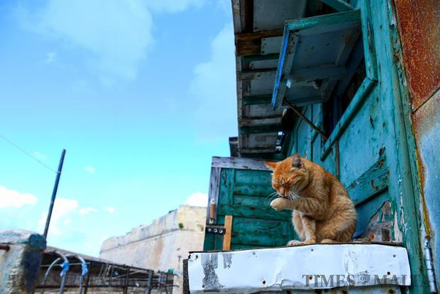 A Valletta ginger cat forgets all about life s worries and engages in a spot of careful grooming on October 31. Photo: Jonathan Borg