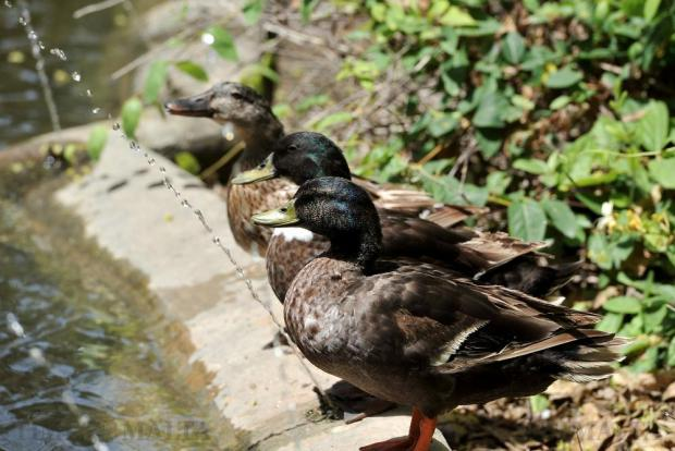 Three ducks contemplate taking a swim in a pond at San Anton Gardens on July 6. Photo: Chris Sant Fournier