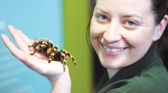 Insect handler Kate Pearce holding a Mexican Red Knee Tarantula spider during the annual stock-take of animals at the London Zoo. Photo: Anthony Devlin/PA Wire
