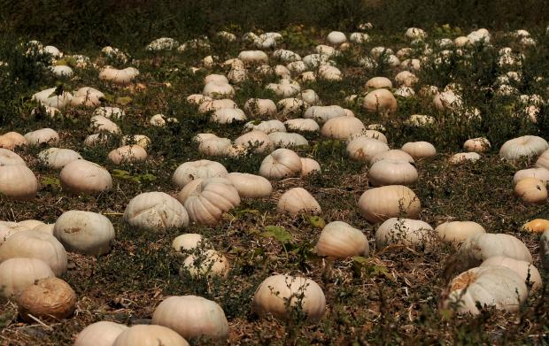 Pumpkins bake under the scorching sun in a field in Pwales valley on July 11. Photo: Chris Sant Fournier