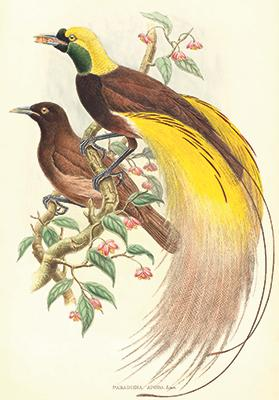 A male Lesser Bird of Paradise, with the female in the background, from a painting by John Gould.