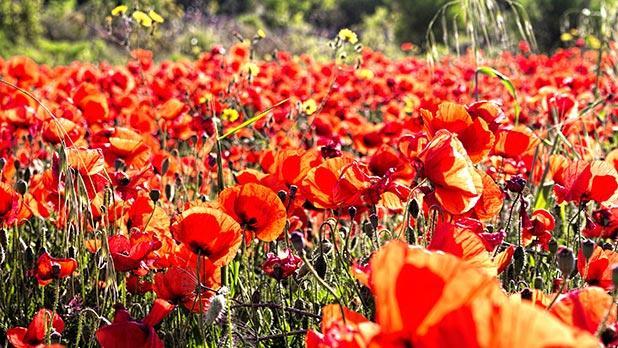 Poppy field in Qala. Photo: Ronald Falzon