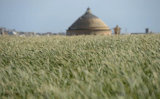 Crops blow in the wind in a field in Mosta on February 29. Photo: Matthew Mirabelli