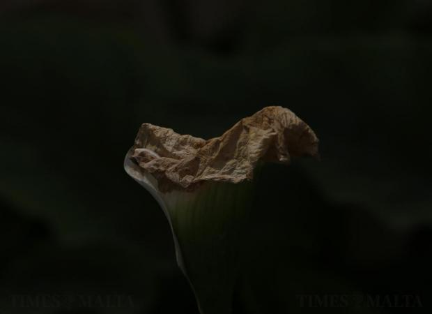 A calla lily flower withers away at San Anton Gardens in Attard on April 9. Photo: Darrin Zammit Lupi