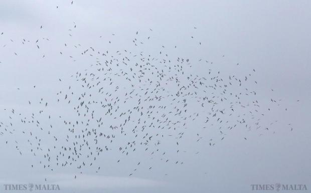 An unusually large flock of seagulls is seen over Marsa and the harbour areas on January 25. Photo: Darrin Zammit Lupi