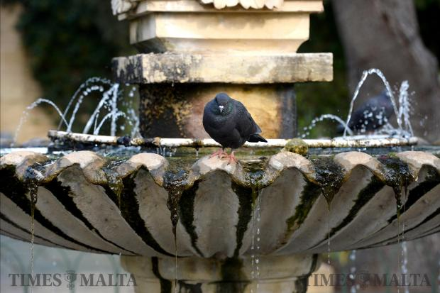A pigeon fluffs himself up as he rests on a fountain in San Anton Gardens on November 15. Photo: Matthew Mirabelli
