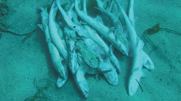 Some of the dead shark pups found around Xlendi, Gozo, by diver Tim Rose.