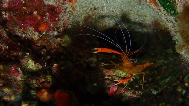 Live Shrimp at Wied iż-Żurrieq. Photo: David Agius