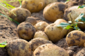 Potatoes have roots in a healthy lifestyle