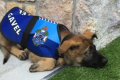 Australian police dog fired for being too sociable