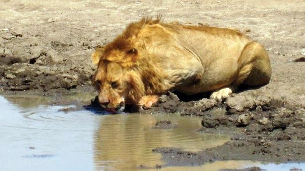 A lazy lion drinks from a watering hole, under the watchful gaze of dozens of tourists.