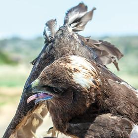 This picture of a protected marsh harrier was released by Birdlife, which said the bird, that was found with gunshot wounds yesterday, had to be put down.